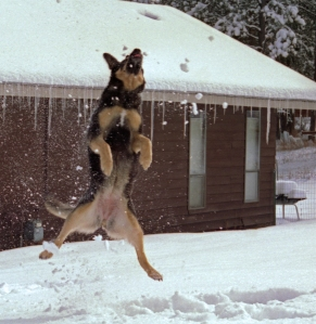 DOG -Sasha Leaps for a Golf Way Evergreen Snowball-HI-RES